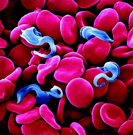 The parasite Trypanosoma brucei