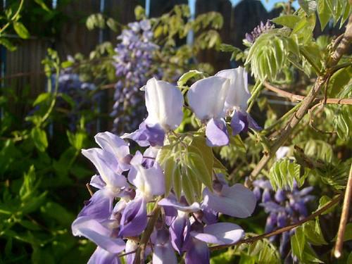 wisteria 005