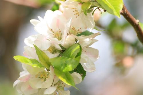 Mayday Blossom