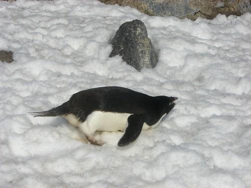 Penguin eating snow