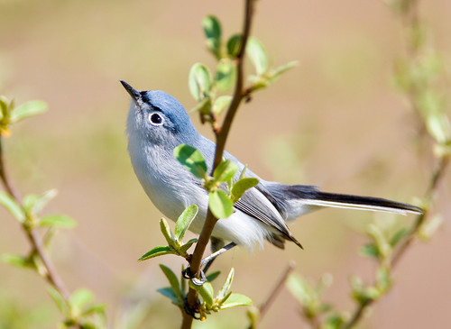 Blue-Gray Gnatcatcher by Jim Gilbert at Flickr