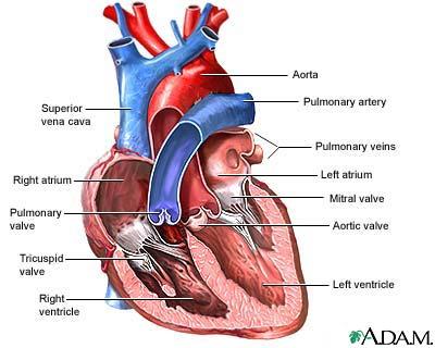 anatomical heart diagram rv solar kit wiring jolie blogs anatomy of