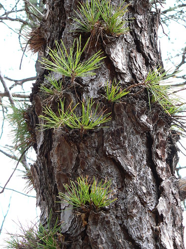 Sinking Creek Mountain - Pine Needles