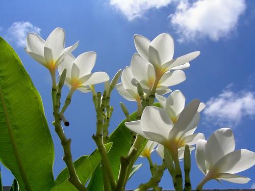 White flowers...Blue Sky
