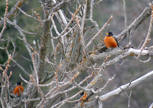 robins in a tree