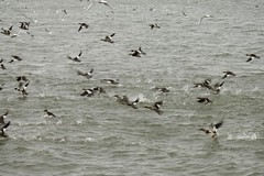 Running Red-breasted Mergansers