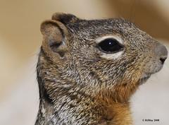 Grand Canyon South Rim - Squirrel