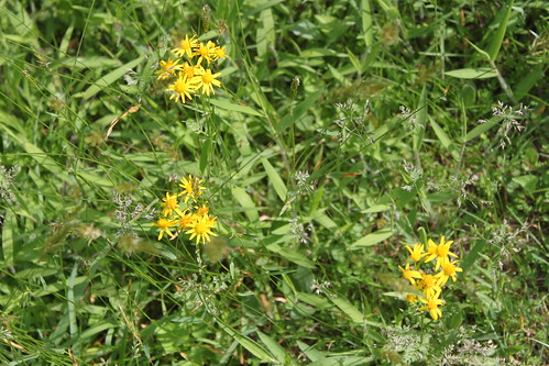 Bull Run Occoquan Trail - Yellow Wildflowers