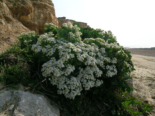 sea kale_bulverhythe_20040520_aphillips_01.jpg
