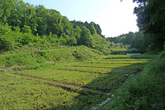 新治市民の森―田んぼ(Field, Niiharu Community Woods, Yokohama, Kanagawa, Japan, 2011)