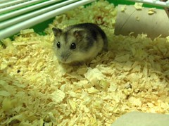 Arthur, the mini hamster