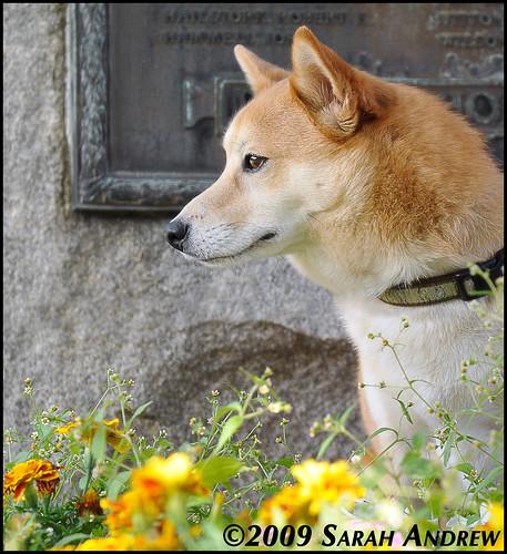 Yoshi the Shiba Inu visits Red Bank, NJ