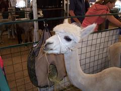 . . . and alpacas . . .
