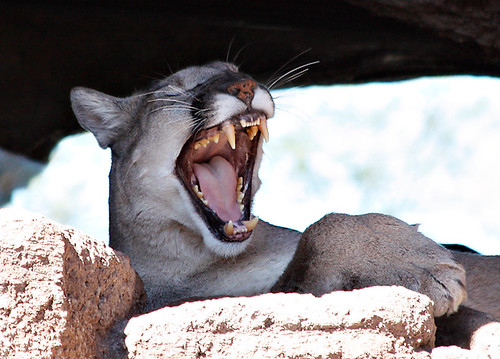Laughing Mountain Lion by SearchNetMedia