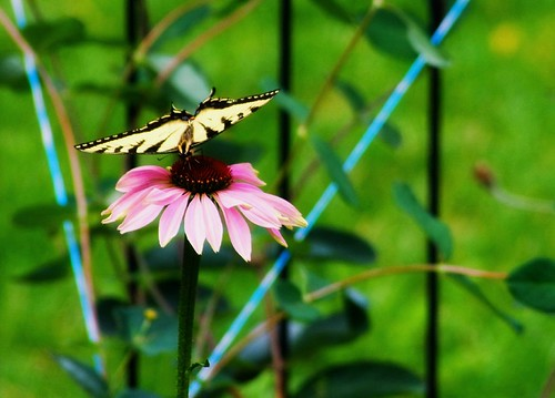 Tiger Swallowtail (Papilio glaucus) on Echinacea