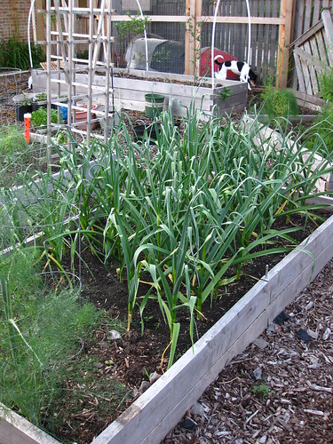 Loads of quicly ripening garlic