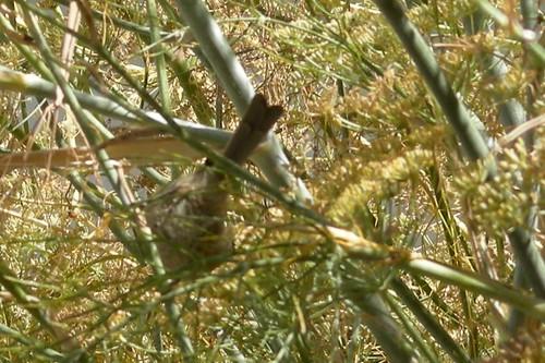 finch in fennel, San Jose, California photo: copyright 2009 Katy Dickinson