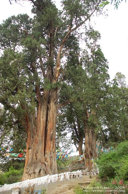 西藏林芝世界柏樹王園林07.jpg