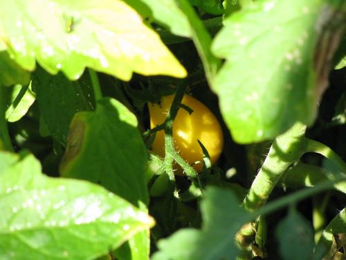 A ripe one hiding