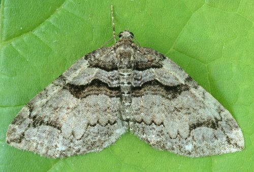 7329 - Anticlea vasiliata - Variable Carpet
