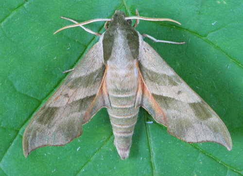 7885 - Darapsa myron - Virginia Creeper Sphinx