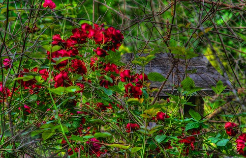 Sheltered by Roses