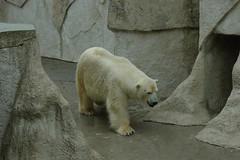 Eisbär Romeo im Zoo von Riga