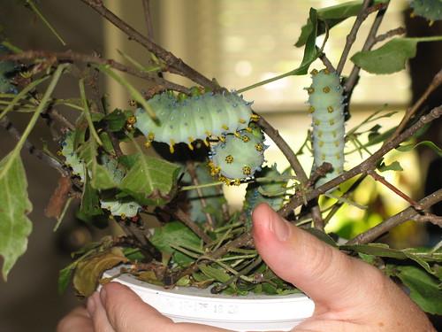 Caterpillar closeup 09
