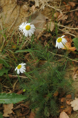 German Chamomile (Matricaria recutita)