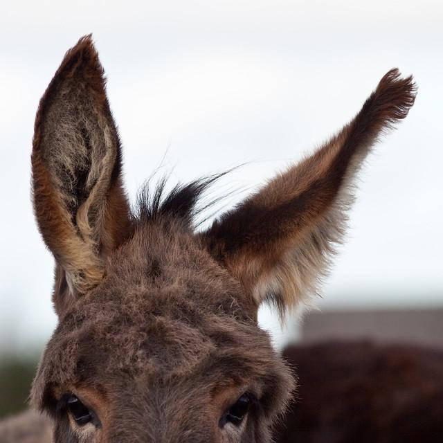 Donkey ears cropped