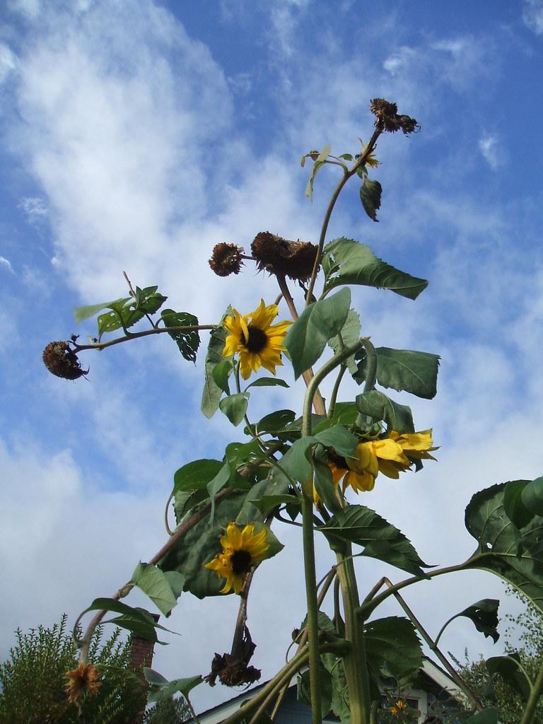 Towering Sunflowers in Mid-November