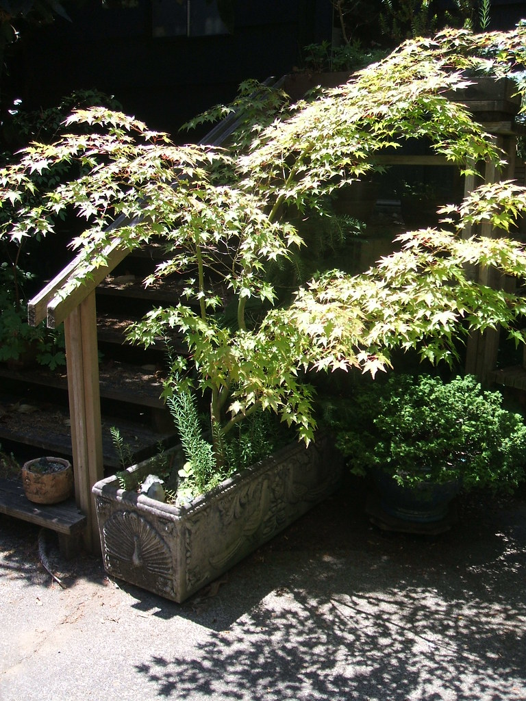 Small maple in planter