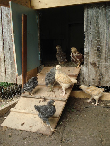 chicks, exploring