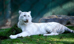 White tigers at The Secret Garden of Siegfried & Roy