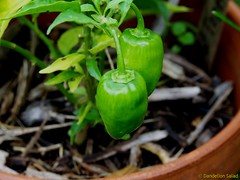 Tiny Hot Peppers