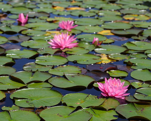 Pink Water Lilies 4