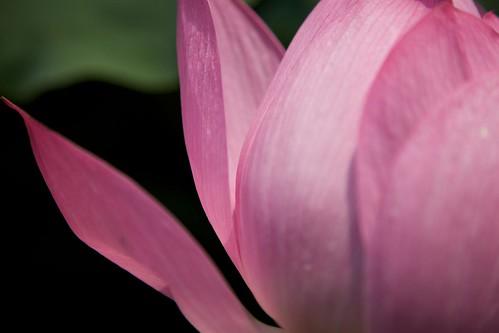 taipei botanical garden: pink lotus