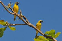 Birds from Mauritius id help please Talk Photography