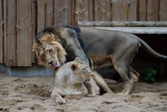 Indische Löwen im Zoo Tallinn