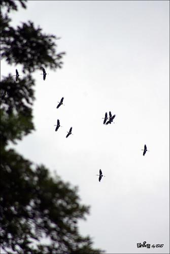 Painted Storks (Mycteria leucocephala) in flight