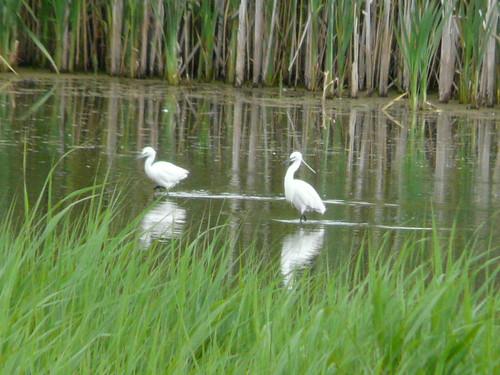 Little Egrets