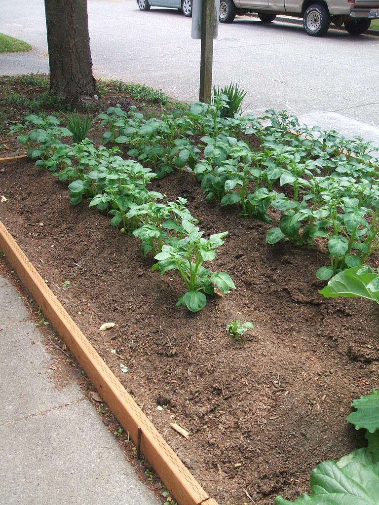 Potato farm on street