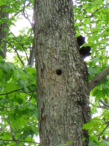 Hairy Woodpecker Babies Inside!