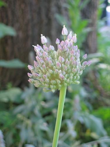 Alium/Garlic Flower