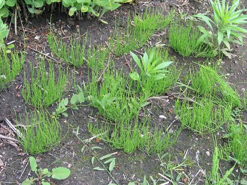 Zinnkraut / Field horsetail, common horsetail