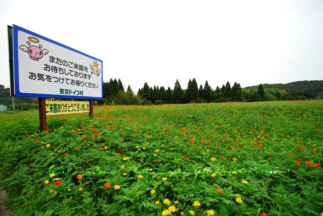 Dari luar Doitsu Mura..memula ingatkan bunga poppy..rupanya cosmos.