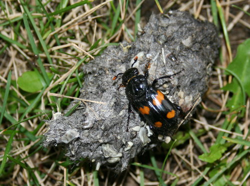 Owl pellet and carrion beetle