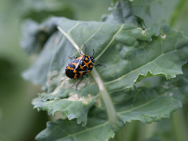 Harlequin-Bug
