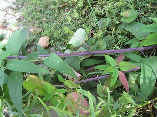 Wild bergamot stem