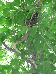 Snake Attacks Bird Nest